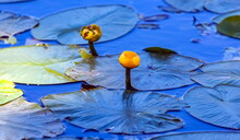 Flowers Yellow Water Lilies Cl...
