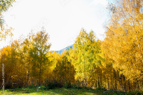 Fototapety, obrazy: Autumn. Beautiful yellow birch leaves and branches of larch trees on a background of blue clear sky. Natural background. Place to insert text.