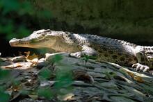 Alligator Bask In The Sun, Cra...