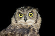 canvas print picture - Portrait of a spotted eagle-owl (Bubo africanus) on black, South Africa.