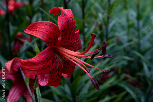 Fotografía Gorgeous beautiful flower of red lilly with black specks and long stamens agains