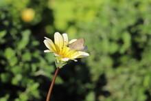 ガザニアの花の蜜を吸...