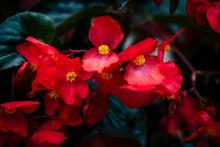 Bégonias Rouge Dans Le Jardin...