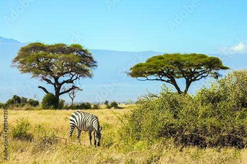 Naklejka premium Lone zebra grazes in the savannah