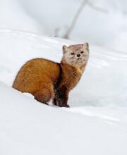 Pine Marten In The Snow