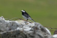 A Small Black And White Bird In The Yorkshire Dales, Perched On A Rock With Wire Around It.