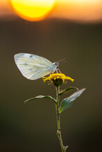 A Small White Butterfly Dries ...