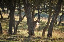A Herd Of Fallow Deer Graze On...