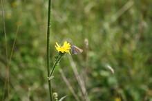 Checkered Skipper Butterfly On Yellow Flower (Brauner Dickkopffalter)