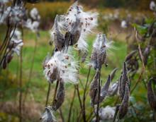 Milkweed Plant Seed Pods Bursting Open