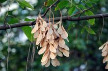 Ripe American Maple Fruit On An Autumn Tree