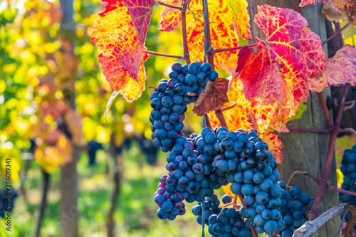 Fototapeta blue merlot grapes in autumn vineyard obraz