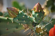 Prickly Pears Cactus Flower, O...