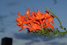 Orange Flowers Of Crossvine Plant (Bignonia Capreolata)