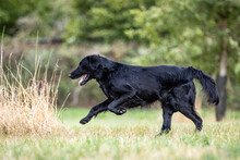 Side Shot Of A Black Flat Coated Retriever Dog Running Across A Meadow To Fetch A Dummy At A Portrait Dog Photo Shooting With Blurred Out Background