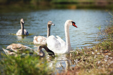 A Family Of Mute Swans Swims I...
