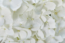 White Hydrangea Arborescens An...