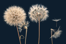 Dandelion Seeds Fly From A Flower On A Dark Blue Background. Botany And Bloom Growth Propagation.