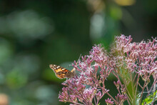 Painted Lady On Joe Pye Weed