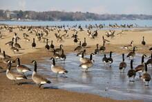 Flock Of Geese On Lake Michigan Beach In Winter