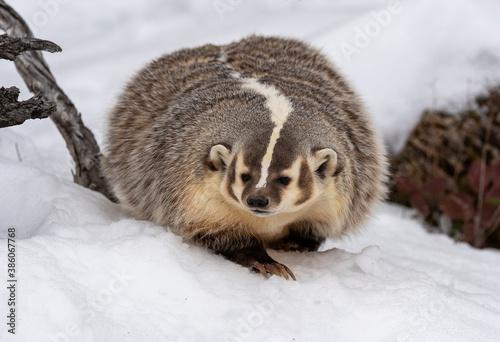 Billede på lærred Badger Winter