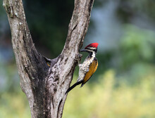 Woodpecker In Action
