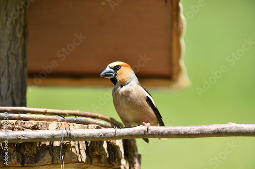 Fototapeta Portrait of the hawfinch sitting on tree branch in the spring