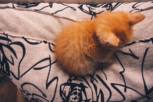 A Small Red Kitten Curled Up I...