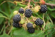 Wild Blackberries On The Branc...