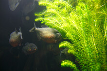 Group Of Red-bellied Piranha F...
