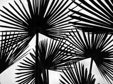 Palm Leaves From A Low Angle V...