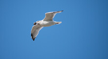 Herring Gull Flying With A Live Mussel & A Blue Sky Background.