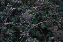 Female House Sparrow Eating Blackberries, Surrounded By Leaves, Brambles And Thorns.