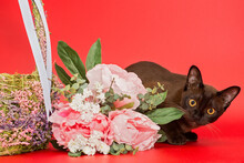 American Burmese Cat With A Ba...