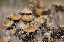 Dry Thistles In Nature On Autu...