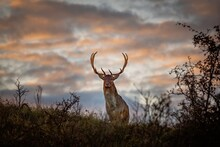 Male Deer At Sunrise