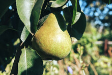 Beautiful Fresh Young Green Pears Growing On A Tree Background.