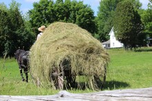 Old Style Hay Farming. Loose H...