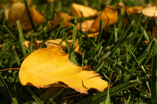 Yellow Leaves In Green Grass. Fall. Close-up Of A Yellow Leaf. Leaf Fall. Gold Autumn. Yellow, Orange, Brown Leaves On The Ground. Autumn Landscape.
