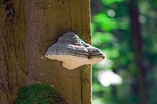 A Large Hub Mushroom On A Tree