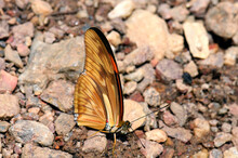 Butterfly Of The HELICONIIDAE...