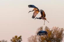 Landing Sandhill Cranes In The...