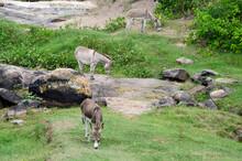 Three Donkeys Eating Grass