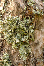 The Gray-green Lichen Parmelia Grows On The Bark Of A Tree. Vertical Close-up Photo