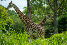 Two Giraffes Stand Behind Each Other And Look In Opposite Directions