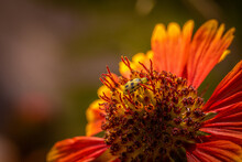 Spotted Cucumber Beetle On Blanketflower Blossom In The Garden