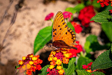 Gulf Fritillary Butterfly On Red And Yellow Creeping Lantana Flowers