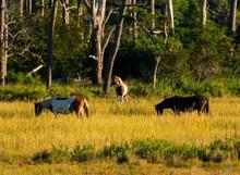 Wild Ponies Grazing In Chincoteague Wildlife Refuge In Virginia