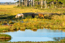 Wild Ponies Grazing In Chincot...
