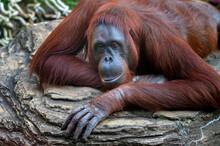 Orangutan Or Pongo Pygmaeus Li...